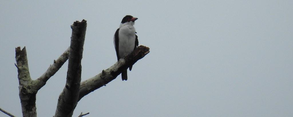 Black-tailed / Tityra Titira de Cola Negra (Tityra cayana) en el río Madre de Dios
