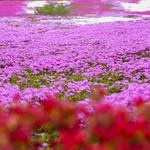 芝桜の饗宴