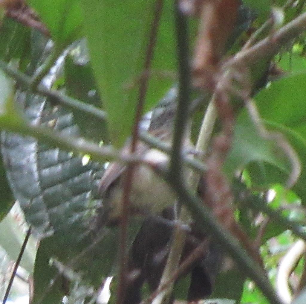 White-flanked Antwren (female); 20180317; PA-Colón-Gamboa