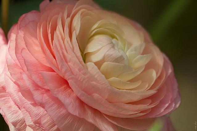 RUS66456(Beauty of Flowers. Ranunculus)