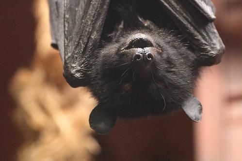Livingstone's Fruit Bat   by charliejb