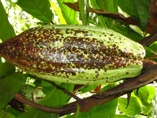 Daño de Monalonion velezangeli (Hemiptera:Miridae) en cacao Theobroma cacao.