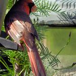 Cardinal Bandit