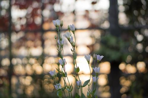 park flowers sunset flower nature japan sony 日本 花 夕日 夕暮れ 公園 愛知県 nex 西山公園 豊田市 nex7