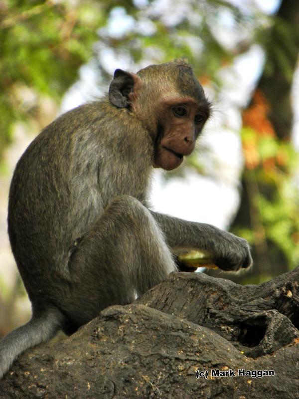 A monkey at the Banteay Prey Nokor temple near Kompong Cham, Cambodia