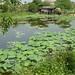Étang à lotus avant l'apparition des fleurs
