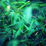 bamboo 竹