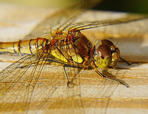 detail macro eyes close dragonfly sony threesisters wigan gomphusvulgatissimus a65 clubtaileddragonfly mygearandme mygearandmepremium mygearandmebronze mygearandmesilver mygearandmegold mygearandmeplatinum mygearandmediamond sonya65 slta65