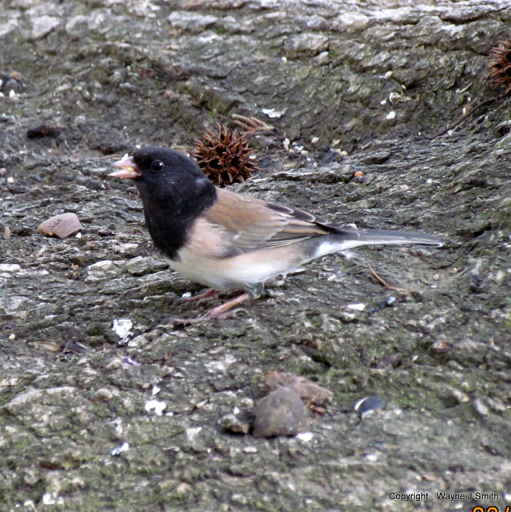 Yard Birds..Junco..L. Goldfinch..Squirrel 02-05-2019