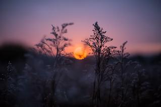 Sunset seedheads | by scyrene