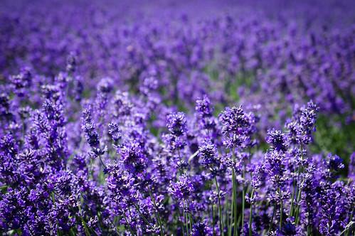 flowers farm hamilton lavender nz waikato te brotherhood awamutu