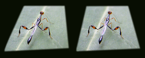 stephanidae wasp macro3d crossedpair stereo pair crownwasp crossview 3d stereopair