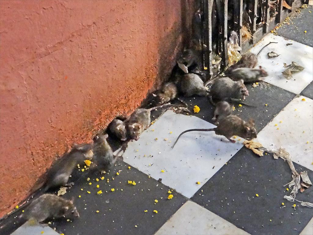 Les rats du temple de Karni Mata (Deshnoke)