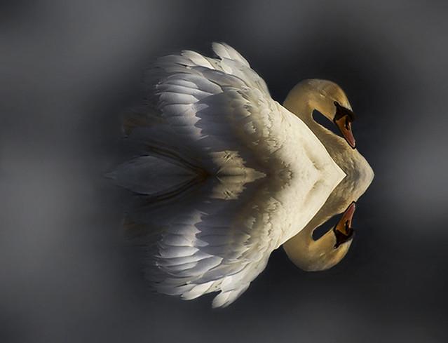 Valentine Swan