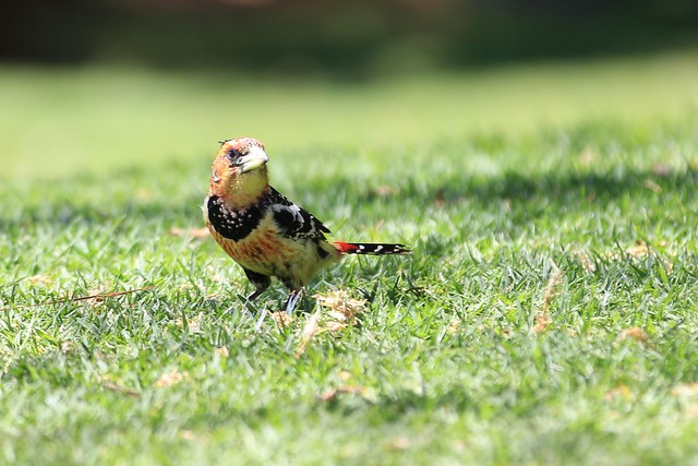 Crested Barbet - On grass, ready to take off. Madikwe, South Africa, 2012