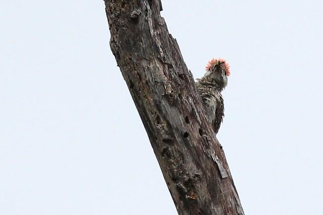 Woodpeeker - Woodpecker peeks from behind the wood being pecked. Pilanesberg, South Africa, 2012.