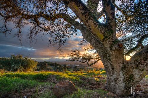 california light sunset tree grass leaves northerncalifornia clouds oak nikon rocks view branches bark sonomacounty santarosa oaktree d600 paradiseridgewinery bobbowman rmbimages robertbowmanphotography