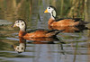 African Pygmy Geese by Wild Chroma