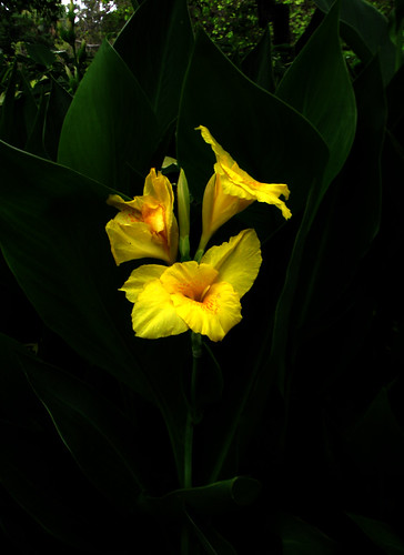 Canna Lily (Canna sp.) | by Boazng