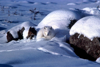 Arctic fox in snow | by USFWS Headquarters
