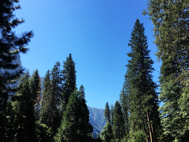 Tall Trees at Yosemite