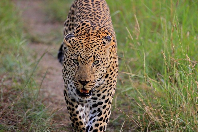 This leopard is not in the mood for any crap - Sabi Sands, South Africa, 2012