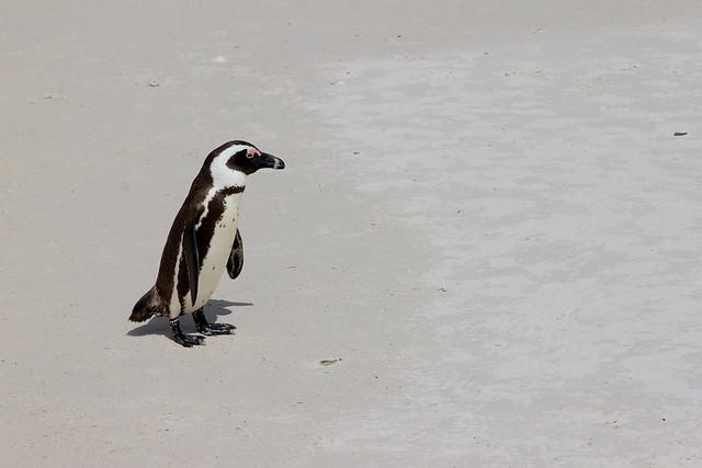 A lonely penguin - waiting for friends to catch up. Cape Town, South Africa, 2012.