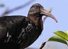 Wattled Ibis portrait by Wild Chroma