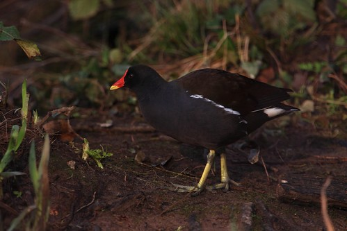 Moorhen going for a stroll | by Cyclingrelf