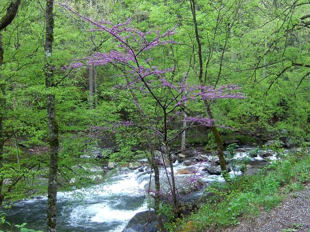 Redbud tree - Little River Road