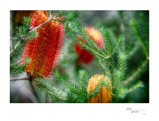 Banksia Dreaming