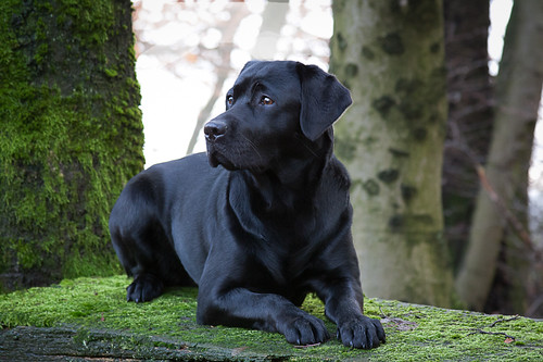Black Labrador Retriever Lotte | by Golden Retriever - Labrador