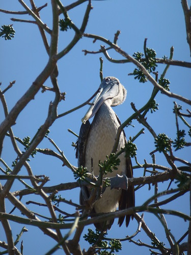Puntarenas - pelikaan
