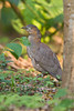 Malayan Night-heron; Gorsachius melanolophus by jwsteffelaar