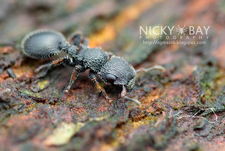Armored Ant (Cataulacus sp.) - DSC_5058