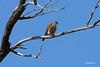 4789 Madagascar Kestrel by Cliff Buckton