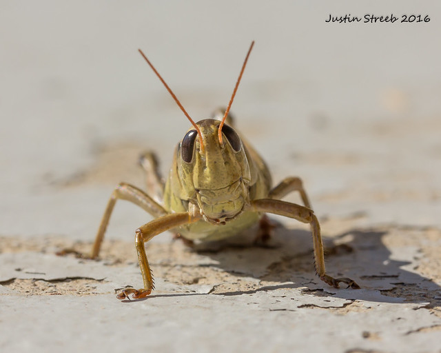Wellsville Grasshopper 1