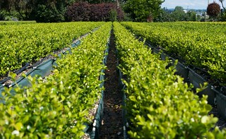 Buxus hybrid 'Green Gem'   by Living Walls Instant Hedges