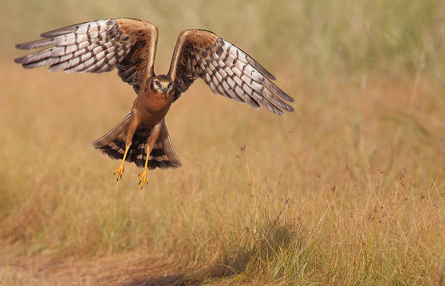 Montagu's Harrier (Circus pygargus) female takeoff