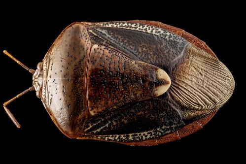 ORIGINAL FILE NAME: 8385746719_830dc45d6f_o.jpg  CAPTIONS IN DIFFERENT LANGUAGES: EN: Stink bug - credits to USGS Bee Inventory and Monitoring Lab - Flickr SV: Stinkfly - kredit till USGS Bee Inventory and Monitoring Lab - Flickr  LINK IN CAPTION / LINK TO SOURCE: https://www.flickr.com/photos/usgsbiml/8385746719/in/photolist-QdePJN-24U9JnH-4k5tZy-9NDrkF-gtmLgs-xRvkLQ-bCBFBi-EToEag-2e7wjEL-2e7wjFh-2e7wjDJ-oCU6dT-7139sx-Qfny4u-9V8tQe-dmggdq-nqoQL8-pbvqJM-4sFGDs-8JxBqQ-nu56mx-4sFGz7-o7dLog-N7EXa7-bpGJS3-Jx3jSc-fNEWFg-6u3Pkc-5Ek2za-G57Sk5-2a63E5u-9yecB1-4NKXo5-PcHZHe-cx9dwb-PSkgX7-ZFLzb3-dSz5JT-xZV3Qn-Qdev65-2eCdXi1-2jy1HMp-242Rxo1-29fbH9x-ouykta-7pXFg6-dM29kZ-bpGJU5-PcJ6dH-N95KNh  IMAGE ADDRESS: https://live.staticflickr.com/8075/8385746719_2117f6fd30.jpg  DOWNLOAD PLATFORM: Flickr  TITLE: Edessa florida, U, back, Upper Marlboro_2013-01-15-17.14.50 ZS PMax  KEYWORDS: stink bug, Party Bugs, Bug Bazaar  AUTHOR: USGS Bee Inventory and Monitoring Lab - https://www.flickr.com/photos/usgsbiml/  LINK TO AUTHOR'S PAGE:   COMMENTS: Resized from the original by Party Bugs (www.partybugs.com). Original photo was downloaded from https://www.flickr.com/photos/68147320@N02/29143457758/in/photolist-JTfpNP-JTfpMr-6e8Ni7-LpiQDC-kjHoC-7hLgB7-7hGjj2  COPYRIGHT: USGS Bee Inventory and Monitoring Lab - Public Domain Mark 1.0  THIS INFORMATION WAS RECORDED ON 2.4.2021.