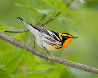 Blackburnian warbler | by NatureServe