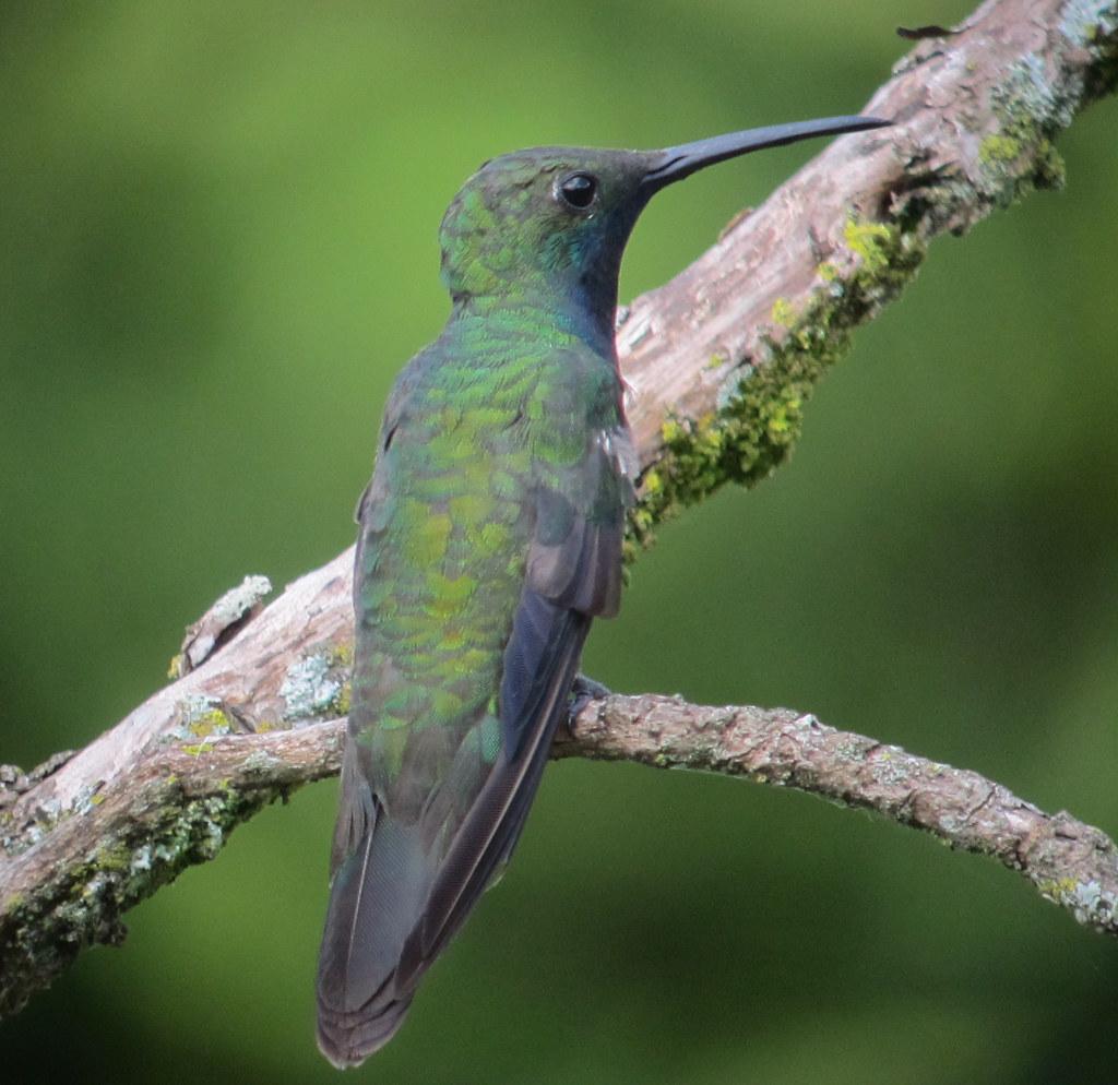 Imagen de una de las aves del Quindio: Mango pechinegro (Anthracothorax nigricollis)