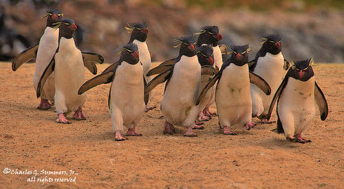 A waddle of Southern Rockhopper Penguins travel together from colony to sea 0R7E1371