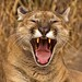 Flickr photo 'Cougar Yawn' by: Kool Cats Photography over 15 Million Views.