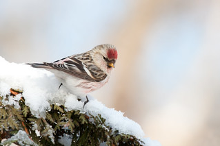 Hoary Redpoll (Acanthis hornemanni exilipes) | by Frode Jacobsen