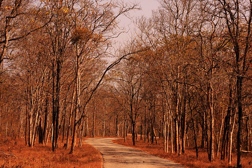 life road travel trees nature leaves yellow forest landscape evening leaf woods seasons path scenic hues greenery 75300mm majestic pathway determination contemplation canon500d nagarahole