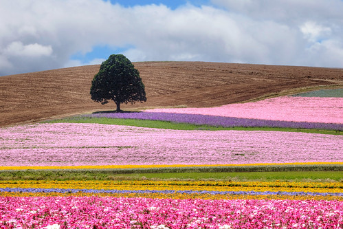 ian sane images multiflavoredsherbetswirl silverton oregon seed company colorful fields crops flowers lone tree evens valley loop northeast farm agriculture canon eos 5d mark ii two camera ef100400mm f4556l is usm lens