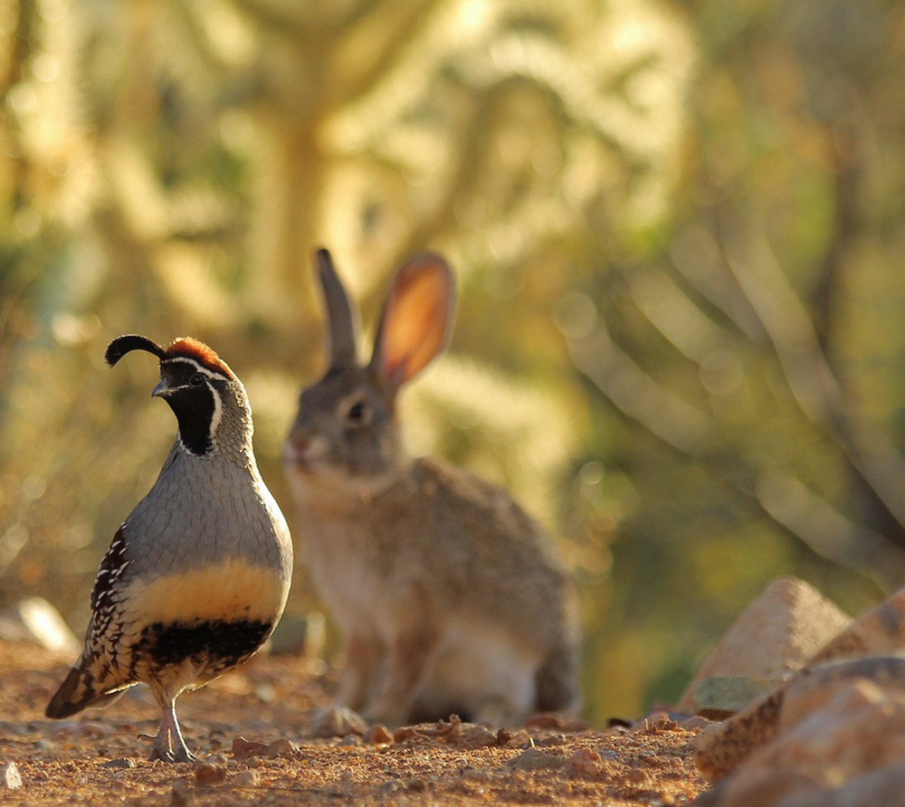 """Desert Cottontail """"shadowing"""" male Gambel's Quail."""