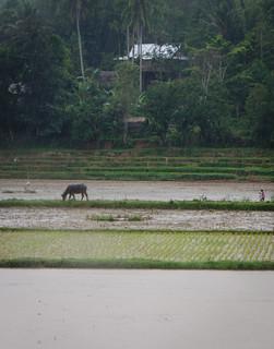 Buffalo and farmer under the rain | by Jerome Nicolas