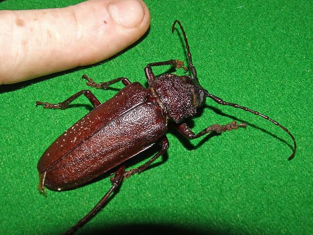 Cerambycidae Prioninae>Eurynassa australis Wattle Root Longicorn DSCF2949